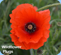Wildflower PLugs - Field Poppy